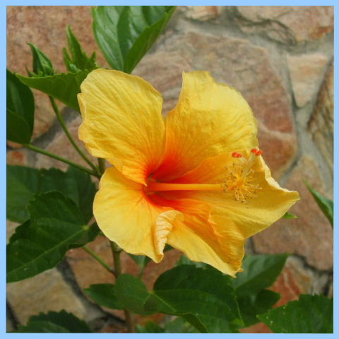 Serena, Pipa - Hibiscus, tropical flowers garden of Serena - vacation rental