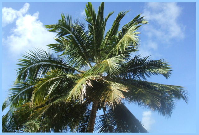Serena, Pipa - Coconut Palm trees rustle in the breeze